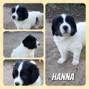 Landseer - Welpe Hanna
