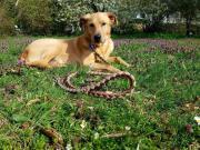 Leo, hübscher Labrador