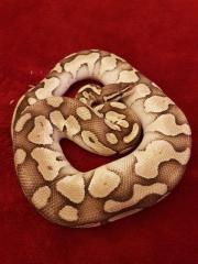Lesser pastel königspython