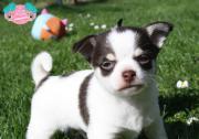 Liebenswerter Chihuahua Rüde