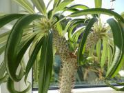 madagaskarpalme pflanzen garten g nstige angebote. Black Bedroom Furniture Sets. Home Design Ideas