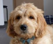 MEDIUM Goldendoodle Welpen
