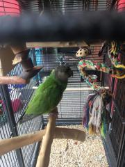 Pärchen-Mohrenkopf-Papageien