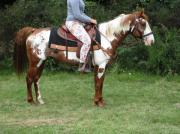 Paint-Horse - Zuckerschock