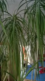 PalmeYucca Maginata