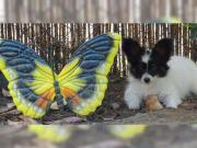 Papillon Welpen wollen