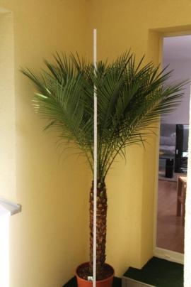 Phönix Palmen Zwergdattelpalme: Kleinanzeigen aus Berlin Buckow - Rubrik Pflanzen