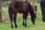 Quarter Pony