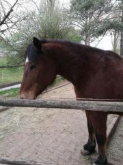 Quarterhorse x comtois