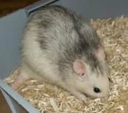 Ratten klein und