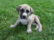 Reinrassige Dogo Canario