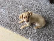 Reinrassiger Chihuahua Welpe (
