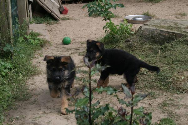 Schäferhundwelpen vom Züchter, » Hunde