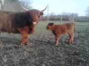 schottisches Hochlandrind Stier (