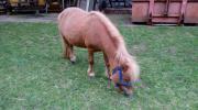 Suche Ponyhengst 1m