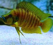 Tanganjika Altolamprologus compressiceps chaitika yellow