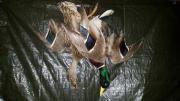 Tierpräperat Entenpaar
