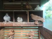 Usbekische Tauben ab