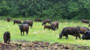 Verkaufe Galloway Herde