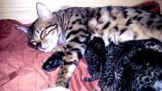 Wunderschöne Bengel Kitten (