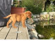 wunderschöne Labradorwelpen mit