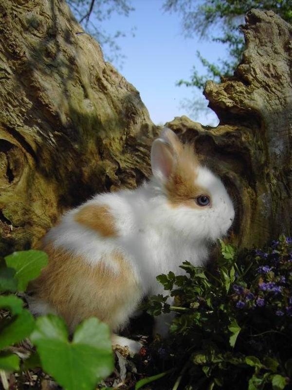 Zuckersüsse Zwergkaninchen » Kleintiere