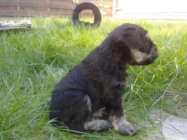 Zwergschnauzer schwarz silber » Hunde